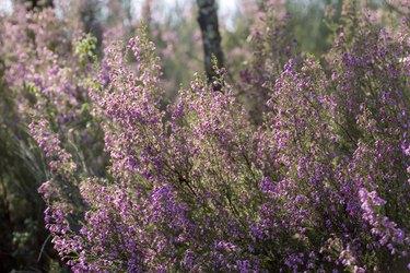 Heath blossom