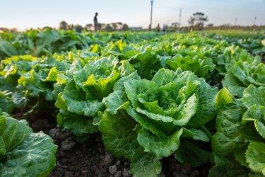 lettuce field near sunset