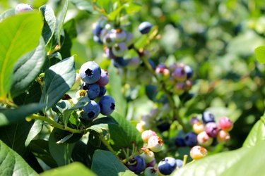 Blueberries Growing On Plant