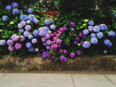 Hydrangeas Blooming In Garden