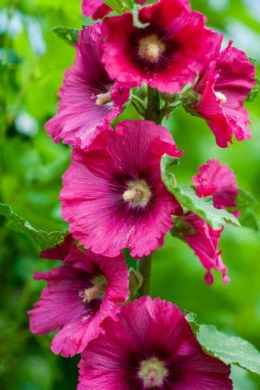 Beautiful large Althea flowering shrub in the sun.