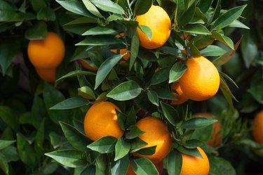 Ripe orange citrus hanging from tree in the morning light