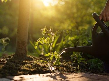 woman watering tomato seedlings