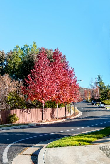 Fall foliage colors in suburban California street
