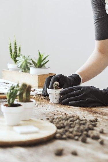 Potting a cactus.