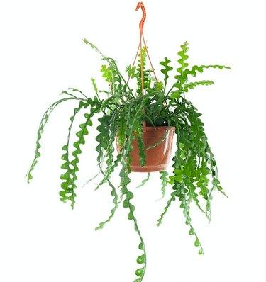 Fishbone orchid cactus