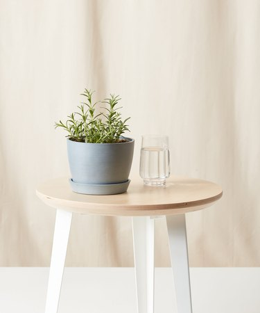 Lavender plant