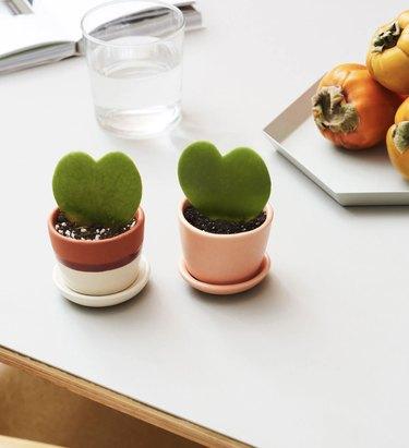 small hoya heart plant
