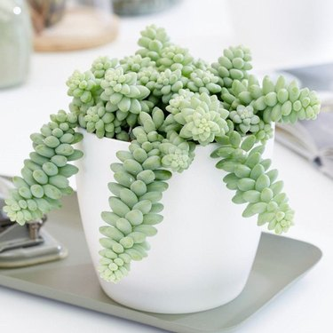 Burro's Tail plant