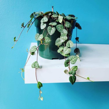 BrownPlantGirls String of Hearts plant in green pot in front of blue background