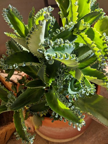 Mother of Thousands plant