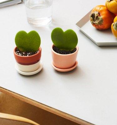 Sweetheart Hoya plant