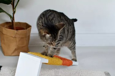 Cat with colorful scratching post