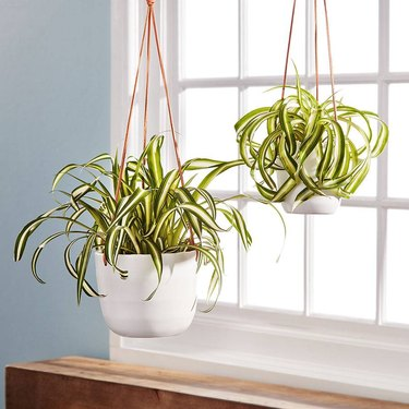Two spider plants hanging by window