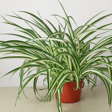 Earthy Children Spider Plant