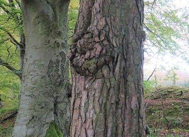 A burr on a Scots Pine tree
