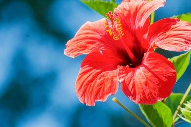 Hibiscus rosa-sinensis in red, close-up