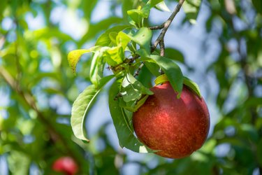 Single ripe nectarine hangs from tree ready for harvest