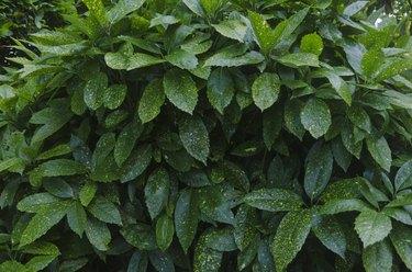 Full frame of aucuba japonica leaves