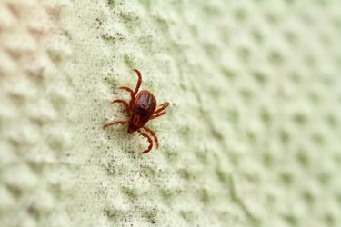 A dangerous parasite and infection carrier mite