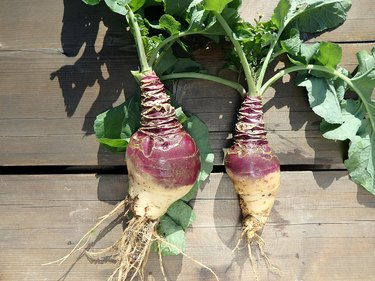 Rutabaga - crop harvest