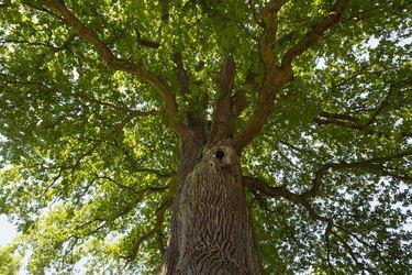 Germany, Bavaria, Lower Franconia, Pedunculate Oak, Quercus robur
