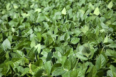 leaves of soy plant in a field