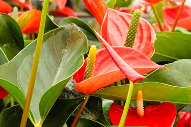 Orange anthurium spadix and spathe growing on plants