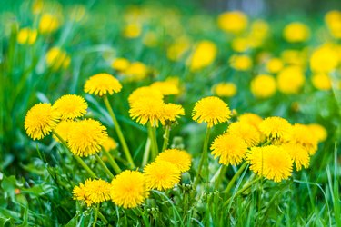 Nice field with fresh yellow dandelions and green grass