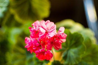 Lovely pink Pelargonium Geranium flowers, close up