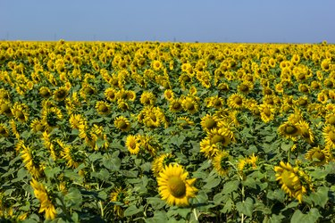 Field of sunflowers at midday in summer day