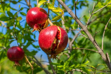 Ripe open pomegranate fruit hanging on tree branch