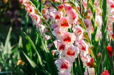 Gladiolus, beautiful flowers blooming in the garden. Pink with bright red spot in the center.
