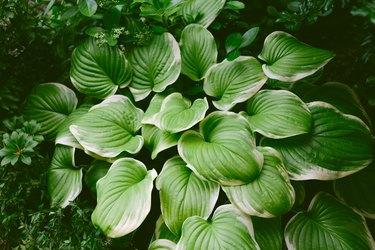 Hosta Growing in a Shade Garden