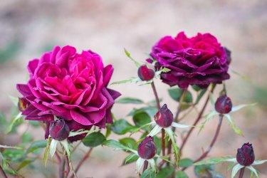 Wonderful rose bush flower in selective focus