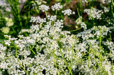 Fresh caraway flowers