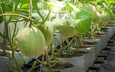 Melons plants cantaloupe growing in greenhouse