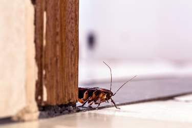 American cockroach, a kind of cockroach with wings. indoors, hidden. insect and pest problem inside the house