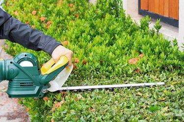Manusing hedge trimmer machine for bush trimming. Shrub pruning.