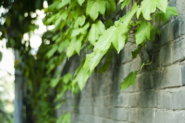 Green leaf vines on the wall