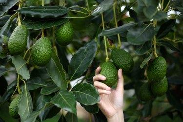 Woman's hands harvesting fresh ripe organic Hass Avocado