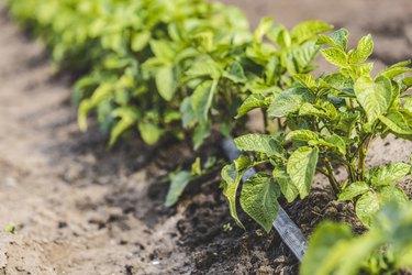 Natural Bug Spray for Potato Plants