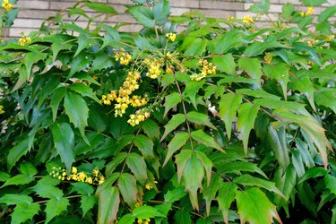 Mahonia japonica / Berberis japonica: Flower and Berry