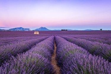 Lavender field at sunset, Valensole, Provence, France