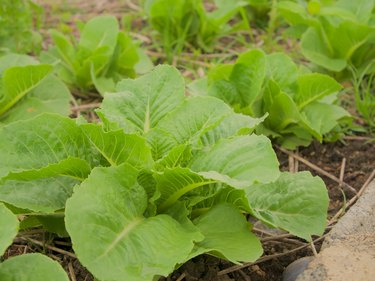 Green cos vegetable salad in the farm