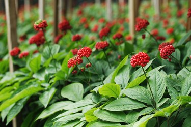 Traditional ginseng Red fruit of Korea
