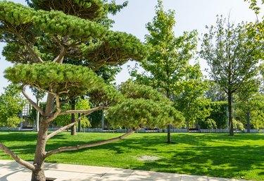 Beautiful bonsai pine tree (Pinus mugo or mountain pine) with lush needles in public landscape city Park Krasnodar or Galitsky Park in sunny autumn 2020