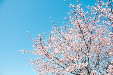 Why Are There No Blossoms on My Flowering Cherry Tree?
