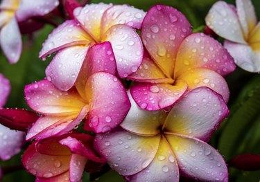 Frangipani flowers in the rain.