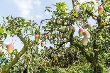 a lot of mango trees in the orchard